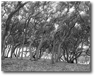 Trees at Fort Fisher